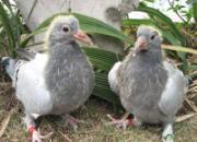 幼鸽生长期的调理要点