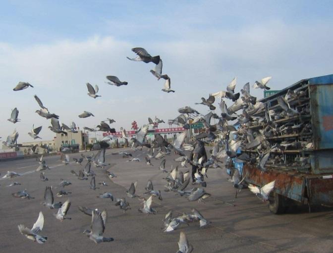 美媒:走进迷人但有时冷酷的赛鸽世界