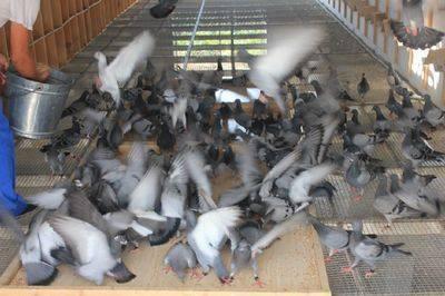 为什么要让鸽子养成抢食的习惯?