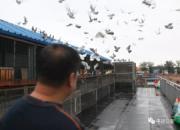 鸽子不好拍 比人难拍多了