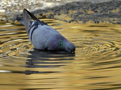 吃一堑长一智!小鸽子不会喝水惹的麻烦