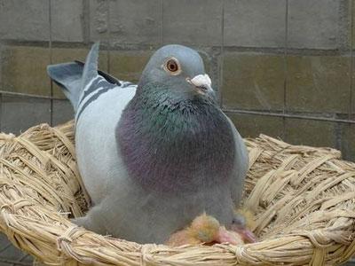 夏天养鸽攻略 了解一下