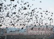比肩巴塞!江苏千公里大联翔集鸽现场图文