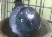 狠心引种精心配对 狗笼里飞出多羽进奖鸽