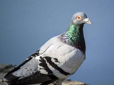 妻子灵魂拷问:你养鸽是为了奖金吗?