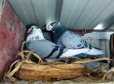 信鸽分棚需要注意什么?
