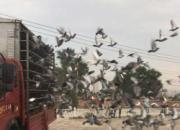 江苏超远程已归13羽 扬州首羽鸽三飞兰州