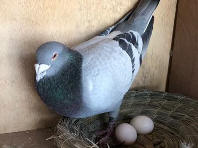鸽蛋的问题与解答(续2):母鸽卡蛋