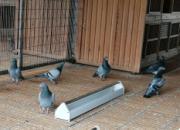 夏季幼鸽疾病多发 防治结合是关键