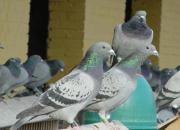 17岁鸽友:我们是真的爱鸽吗?