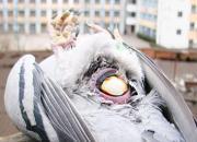 专家解析:母鸽卡蛋及是否清洗鸽蛋问题