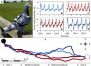 牛津大学专家:归巢鸽为何成对飞行?