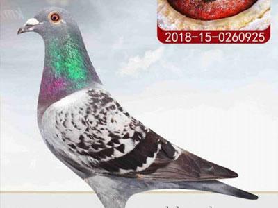 三人来我家买鸽:你家的种鸽不够标准