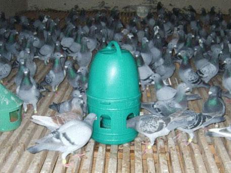 百科经验分享:你须知道的信鸽