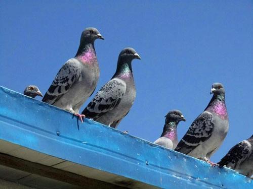 对于乱落的鸽子应该怎么处理?