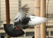 赛鸽高强度训练后应注意些什么?