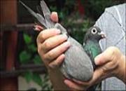 今晚8点直播:伟大传奇经典拍卖 送2只福利鸽