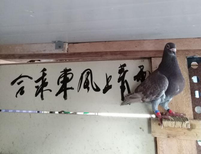 八一寄语――鸽与缘