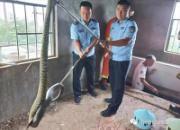 2米大蛇盯上鸽笼 鸽子越养越少