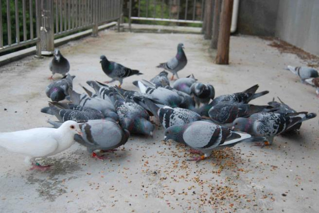 如何备战:秋季特比要想赢 幼鸽管理就得严