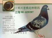 """中国长距离翘楚""""吴淞鸽"""" 史上名鸽及冠军欣赏"""