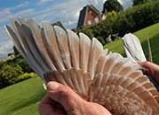冠军鸽翼欣赏:优质羽条更能奋翼疾飞