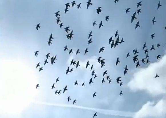 鸽舞蓝天 不一样的慢动作欣赏