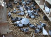 百科长知识:训赛期信鸽调养的三点经验