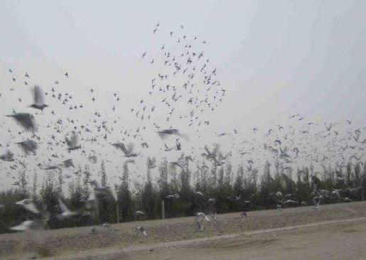 内蒙古鸽协关于禁止机场附近放