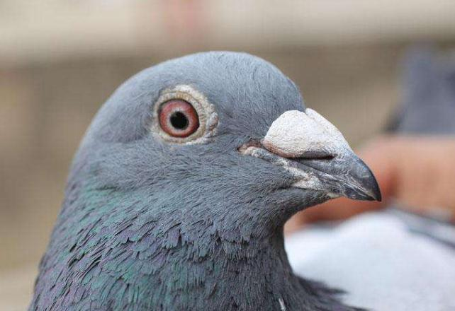 """""""大师""""真的懂鸽子吗?"""