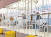 德国卡塞尔国际鸽展十月开幕