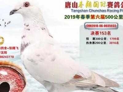 双杨系白鸽――公棚赛场上的白色精灵