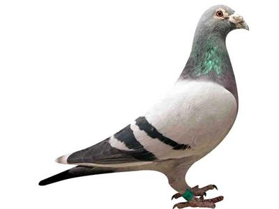 杂谈:赛鸽!