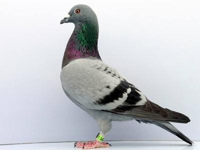 警惕!天落鸟为何雌鸽多?