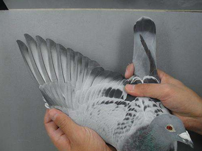 陈英杰老师语音授课(9)带你进入神奇的赛鸽换羽(上)