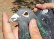 高价引进优秀血统鸽 为何从未作出成绩?