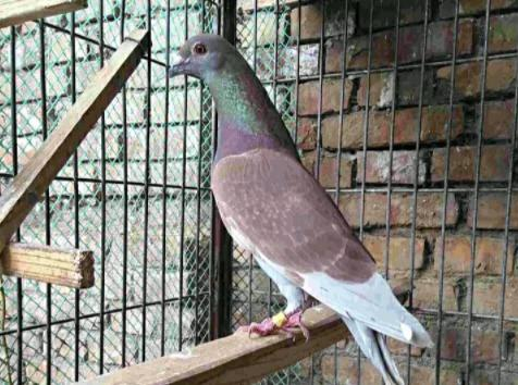 买回来的成年种鸽真能开家吗?