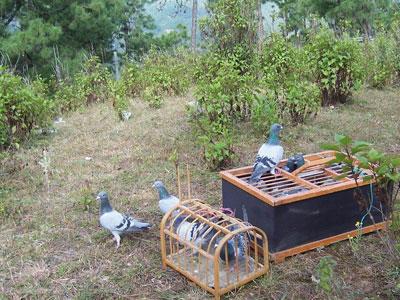 过激短训影响赛鸽归巢