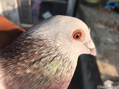 这鸽子能换劳斯莱斯吗?
