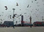 新中国70年大庆 7万羽和平鸽震撼齐飞