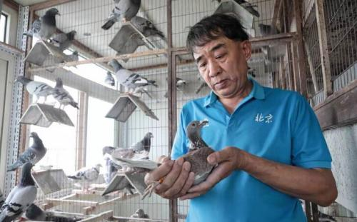 """""""国庆鸽""""背后的养鸽人 曾因养鸽受伤住院"""