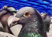 百科长知识:如何调整赛鸽竞技状态?