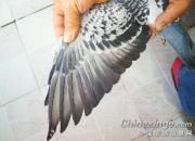 公棚奖鸽:为啥羽条长这样了?
