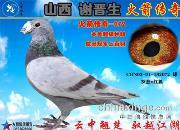 《山西谢晋生火箭传奇家族列传》:四大金刚之传奇名鸽老红鬼072