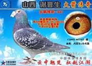 《山西谢晋生火箭传奇家族列传》:四大金刚之传奇名鸽冯莱尔917