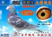《山西谢晋生火箭传奇家族列传》第一部  四大金刚:冠军鸽王基因库