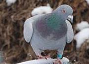 冬季赛鸽训放注意事项