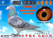 《山西谢晋生火箭传奇家族列传》:四大金母之优龙鸽王514
