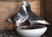 2009年开始入手养鸽 恰好迎来10周年