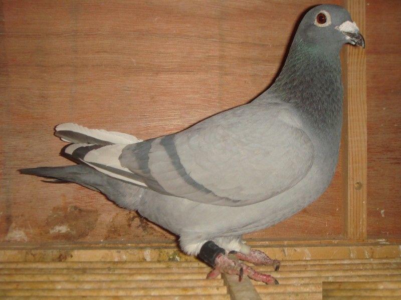 有一只鸽子叫糊本
